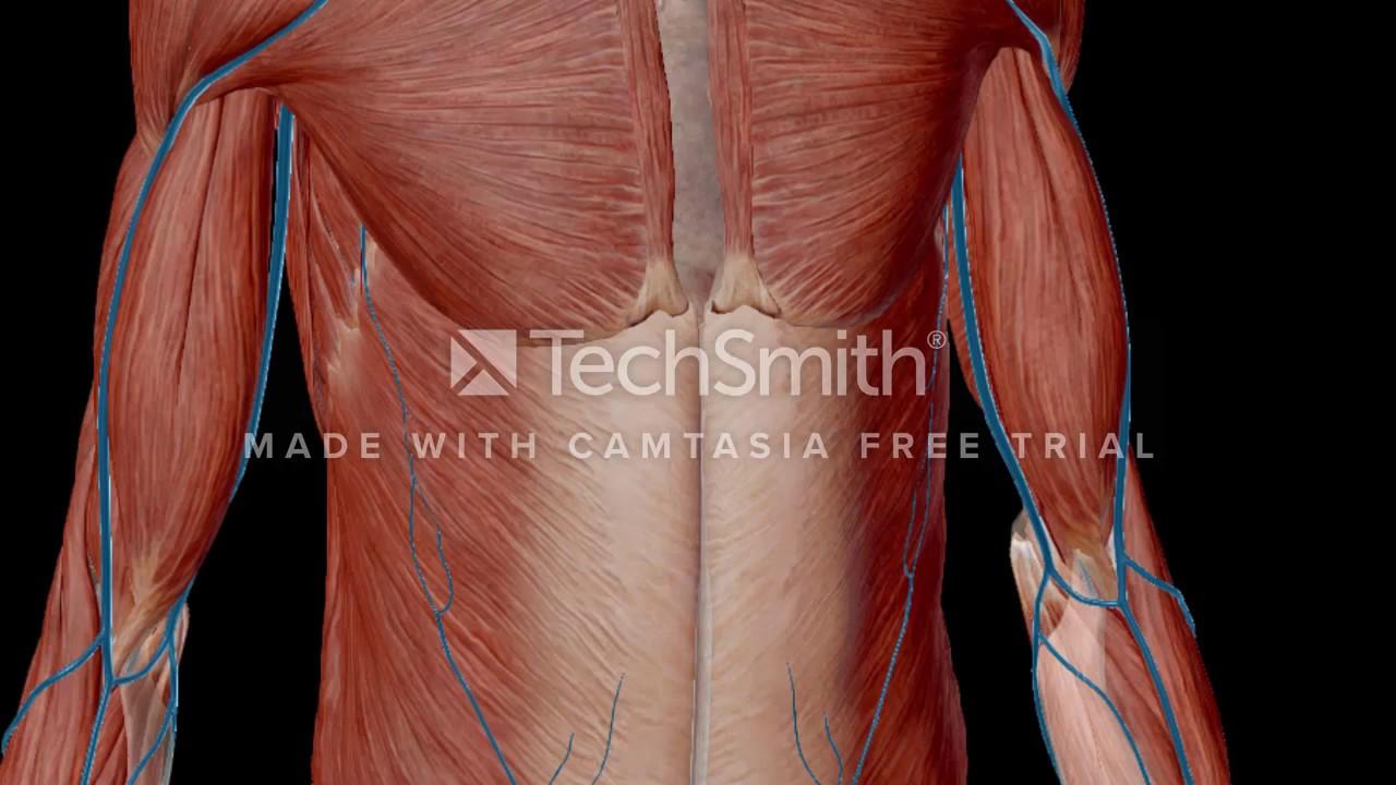 anatomia de las mamas 2 - YouTube
