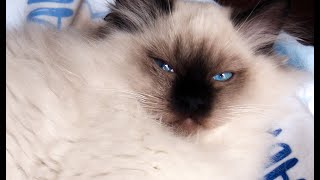 A Day Of Firsts! 15 Week Old Ragdoll Kitten Has A Big Adventure! Breaking The Boredom! Chapter 2