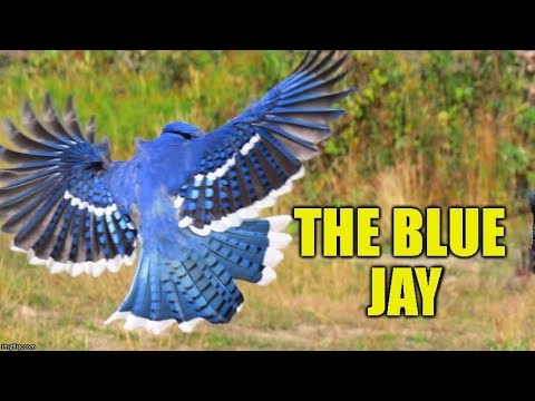 Blue Jays - Did You Know Birding? (Episode 9)