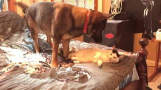 German Shepherd Dog reclaims 'her' bed from Mrs. Peepers Cat!