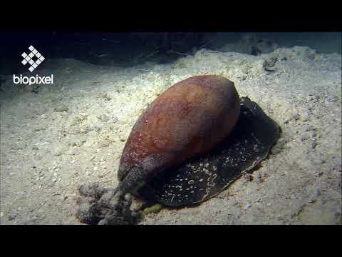 Oceanpedia   Critter finder   Mollusc   Gastropod