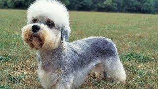 Dandie Dinmont Terrier / Raza de Perro