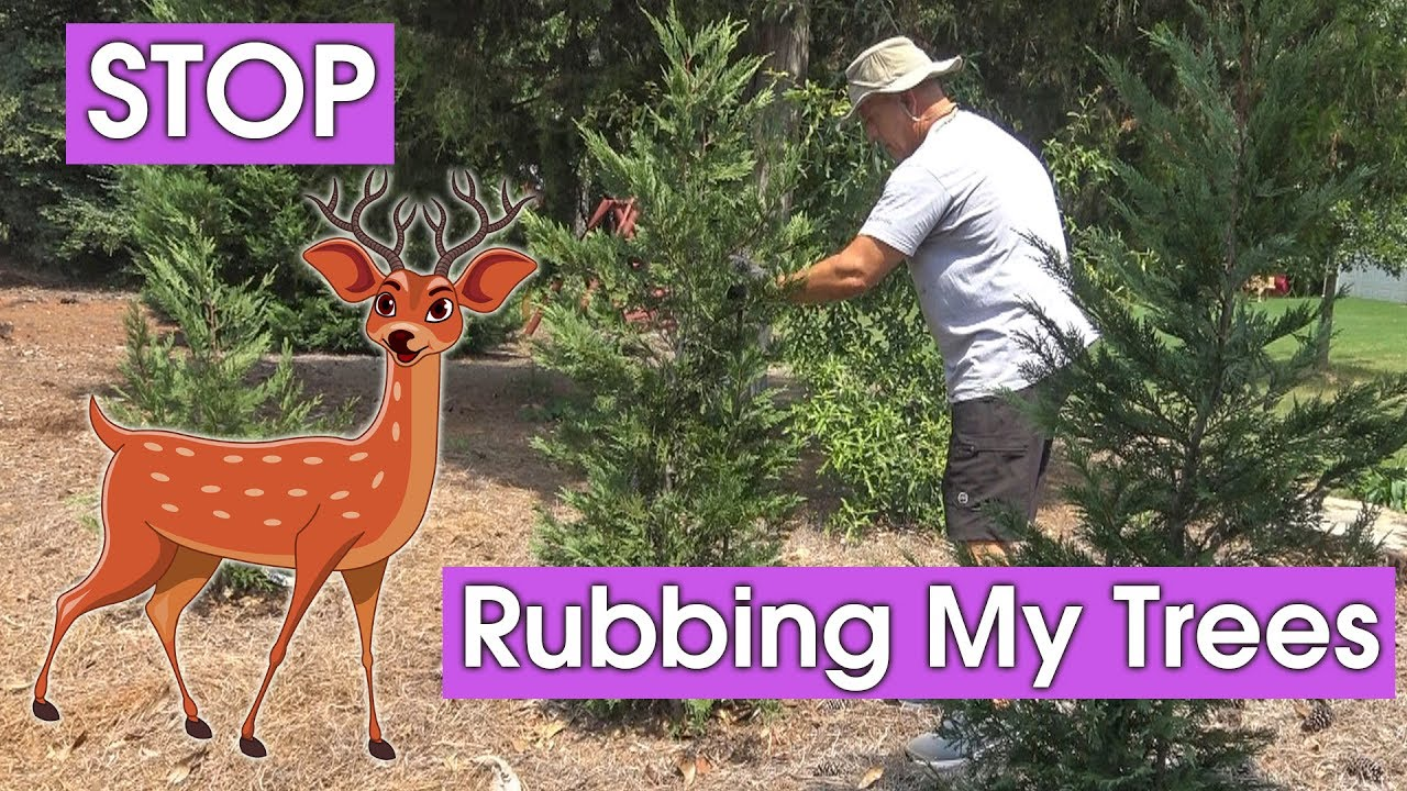 Deer Rubbing Trees And Cypress Bushes Youtube
