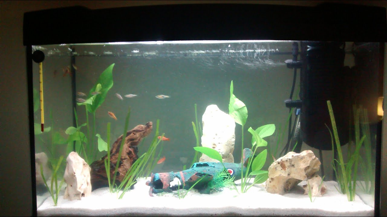 Freshwater aquarium fish rasbora - Cherry Barb Harlequin Rasbora Aquarium