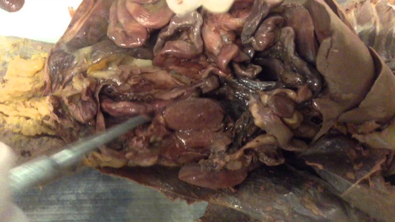 Mink Dissection (Labeling) - YouTube