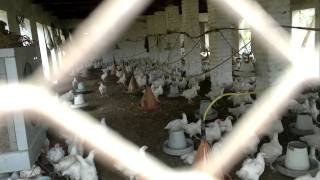 Poultry Farm In Kashmir,Pakistan.