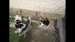 Cat attacked the dog and the hen. Кошка напала на собаку, и курица.