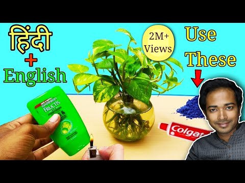 How to grow money plant TOTALLY in water - COMPLETE Guide