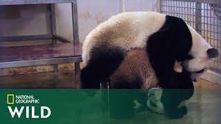 Tak wygląda pora godowa pand [Pandy wielkie ]