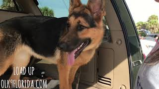 "7 Month Old German Shepherd ""Winnie"" 