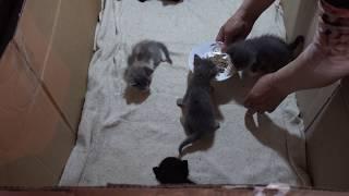 Первое кормление котят в 3 недели.
