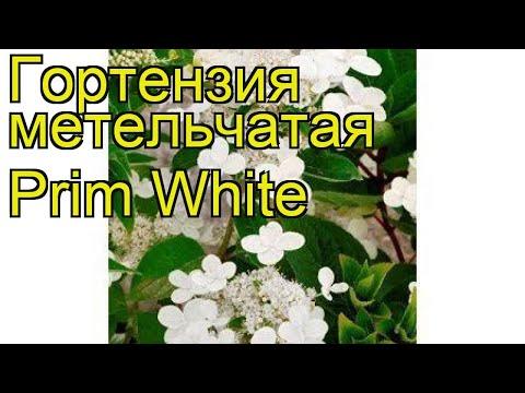 Гортензия метельчатая Прим Уайт. Краткий обзор, описание hydrangea paniculata Prim White