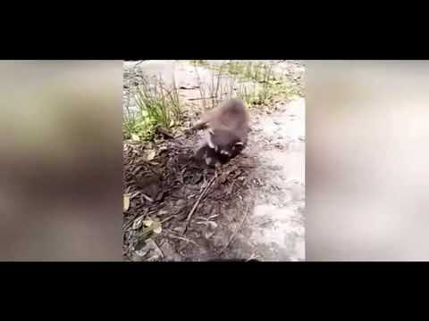 Horrible moment abandoned baby raccoon gets snatched up by dog
