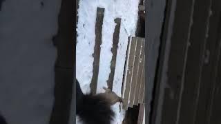 Бег щенка 2,5 месяца монгольской овчарки Банхар вверх и вниз по лестнице (продолжение)