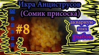 Икра Анциструсов (Сомик присоска) Мальки аквариумных рыбок