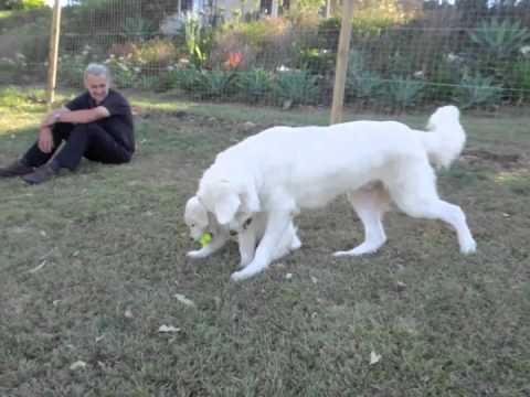 Maremma pup playing from 8 weeks to 8 months old