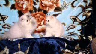Персидские котята кошечки.