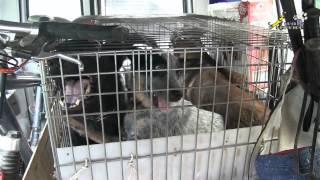 Дрессировка стаи собак, борьба хилера за место в машине