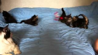 Котята Норвежской Лесной Кошки и Кот Космо