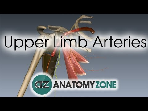 Upper Limb Arteries - Arm and Forearm - 3D Anatomy Tutorial