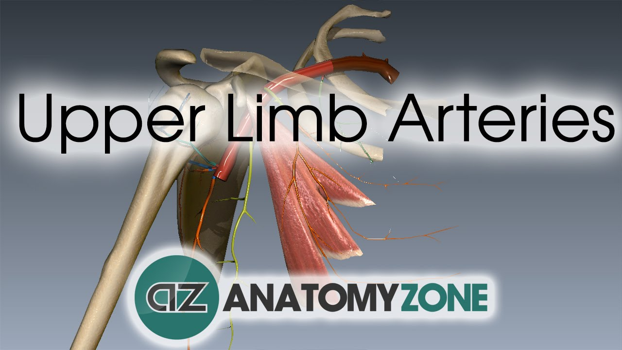 Upper Limb Arteries - Arm and Forearm - 3D Anatomy Tutorial - YouTube