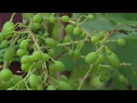 Вопрос: Почему стал вянуть виноград в августе, если он еще не поспел?