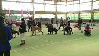 2018年4月28日(土)福岡県甘木朝倉愛犬クラブ展 男十郎の娘、シ...