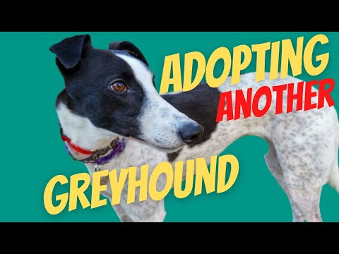 Adopting A Second Greyhound
