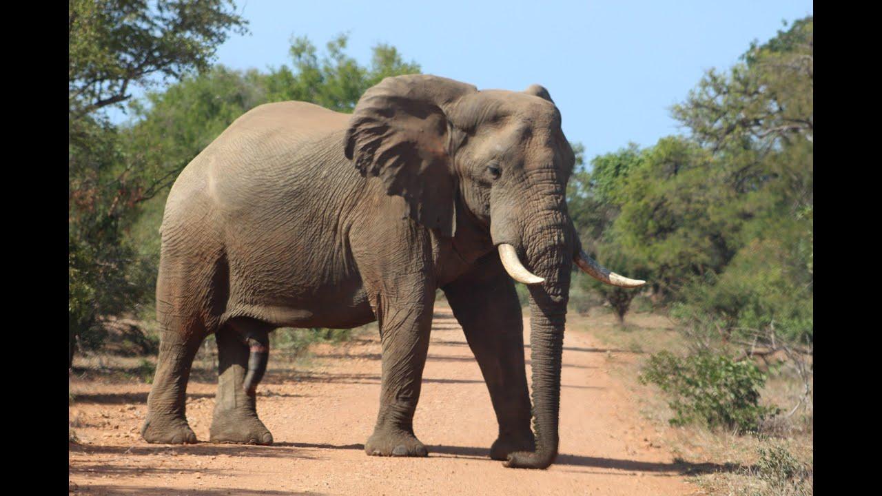 Trailer - Giants of the Kruger Park