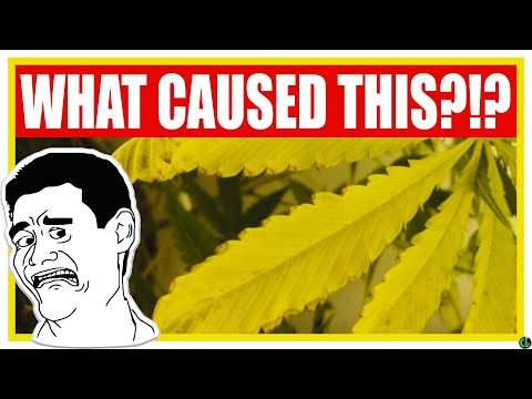 YELLOWING CANNABIS LEAVES? One of These Things is Causing It!
