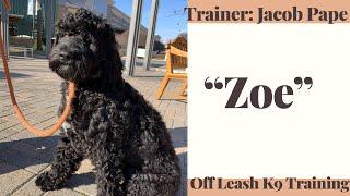 Portuguese Water Dog 'Zoe' I 8 months Old I Epic Behavior Transformation I