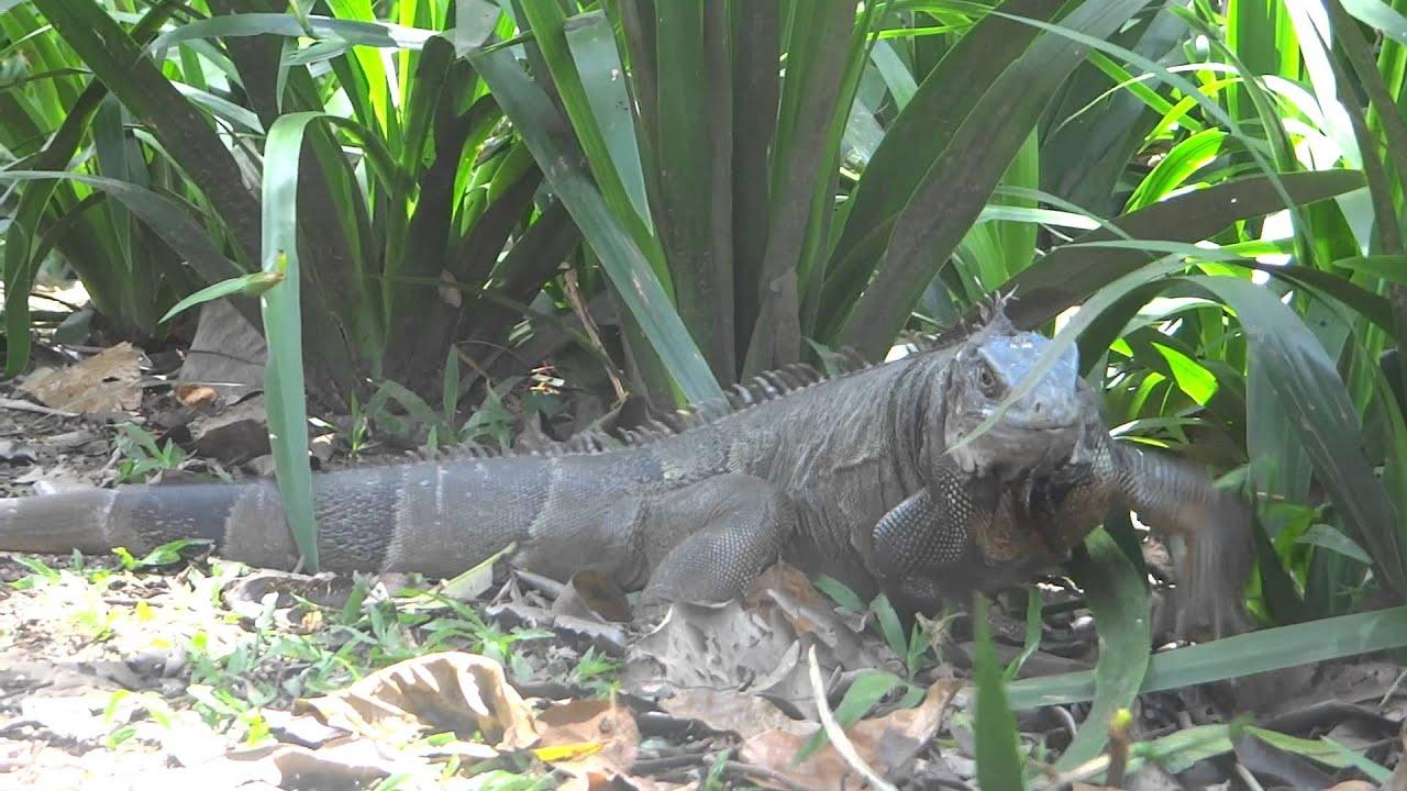 Iguanas en el jardin botanico de medellin youtube for Jardin botanico el ejido