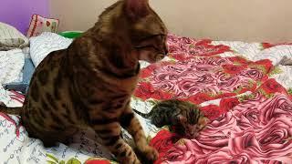 Бенгальская кошка со своим малышом. Питомник Mar Mariben