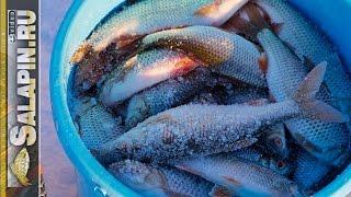 Зимняя рыбалка: жор плотвы на водохранилище. Поплавок, мормышка. [salapinru](На жор на рыбалках мы попадаем редко. Фактически пару раз в году уже здорово, если чаще, то это праздник...., 2016-12-27T06:10:45.000Z)