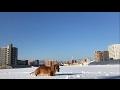 晴天散歩 ミニチュアダックス ココちゃん  犬 Walking with dog in winter. mini dachshund