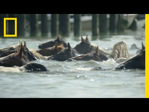 Watch Famous Ponies Swim in Chincoteague Island Tradition  National Geographic