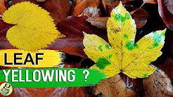 LEAVES TURNING YELLOW? 10 TIPS to Fix Plant with Yellow or Brown Leaves | Leaf Chlorosis