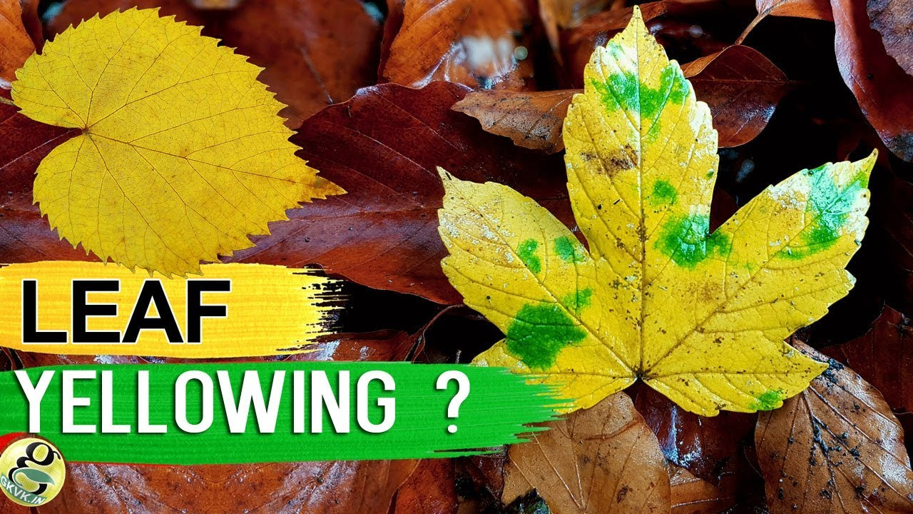 Leaves Turning Yellow 10 Tips To Fix Plant With Yellow Or Brown
