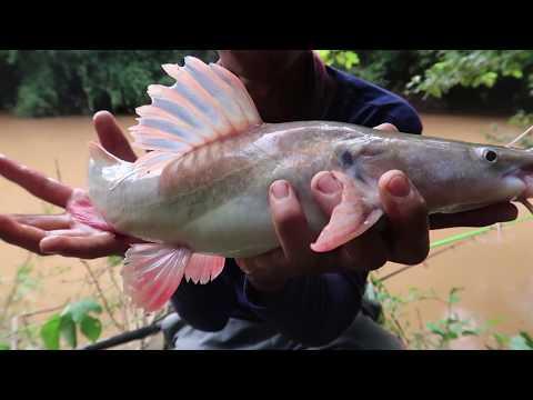 Săn Cá Lăng Rừng Mã Đà || Con Suối Hoang Sơ Nhiều Cá ✅