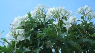 ลีลาวดีลูกศร Plumeria pudica Jacq. cv. Bridal Bouquet