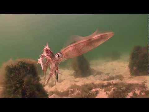 Squid scenarios. Dromana Portphillip Bay Melbourne