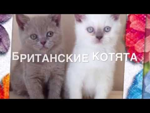 26 янв 2013. Scotch kittens of fold and strayt. Шотландские котята фолд и страйт. Scottish gattini piega e diritto. Kat yavru i̇skoç ve düz. Scottish gatinhos.