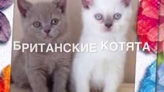 Милые котята. Британские котята. Купить котенка