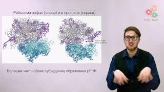 Реализация геномной информации.Трансляция. Цикл синтеза белка
