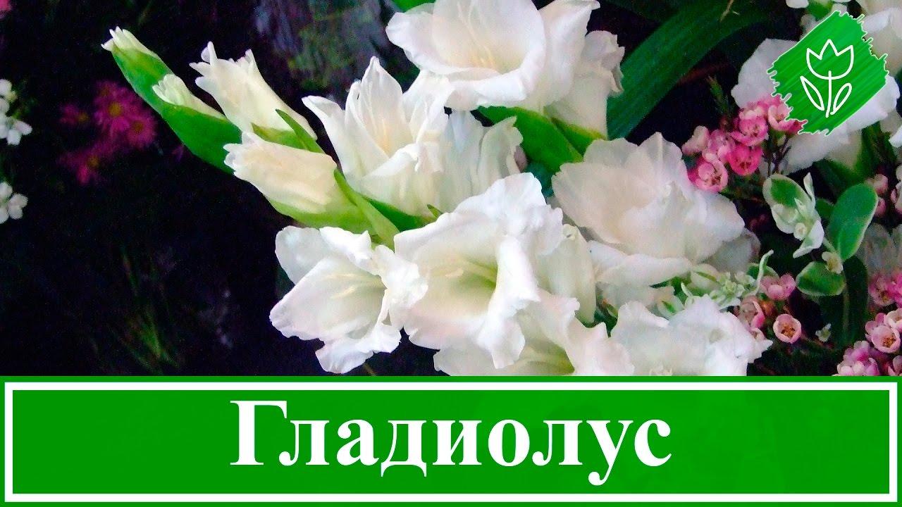 Посадка и уход за гладиолусами, уборка и хранение луковиц гладиолусов | Флористикс Инфо
