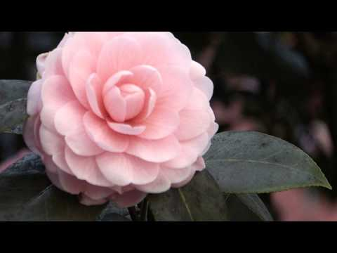 отзывы цветок содержание фото уход камелия