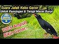Suara Jalak Kebo Gacor Untuk Pancingan  Mp3 - Mp4 Download