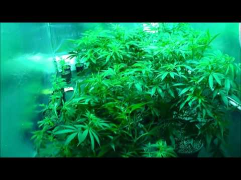 The Weed Nerd Episode 239