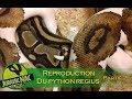 La reproduction du python regius - Partie 2