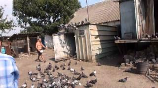 Донецкие голуби! В гостях у Гороха.